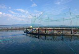 Científicos no constataron ningún efecto del láser para combatir piojos de mar