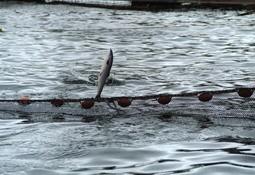 Charla abordará fundamentos fisiológicos de la respuesta a estrés de peces