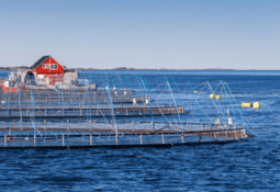 Norwegian salmon price falls again