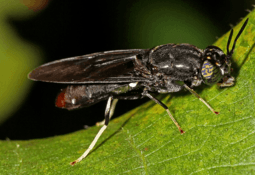 Black soldier fly growth rate 'can be doubled in a year'
