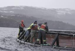 Cooke Aquaculture cosecha 1,2 millones de salmones tras detectar virus ISA