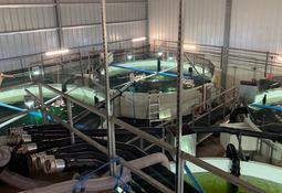 Megaproyecto Atlantic Sapphire cosecha de emergencia 200 mil peces