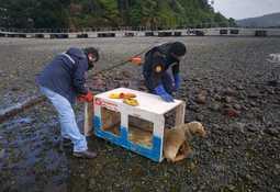 Rescatan a lobo marino en sector de playa colindante a centro de Cermaq Chile