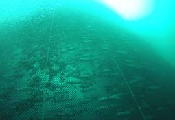 Presentan innovadoras redes metálicas para prevenir escapes de peces