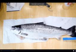Anglers catch 66 of Mowi's escaped salmon