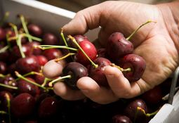 Cherry farmer hails salmon poo as secret of success