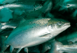 Chile harvested nearly 1m tonnes of salmonids in 2019