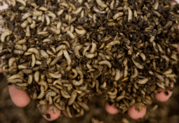 Cooke Scotland joins £10m push for insect-based feed