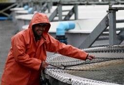 Industria chilena generará 2.200 puestos de trabajo por temporada de salmón coho