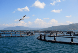 Fish doing well in Chilean submersible cage, says project chief