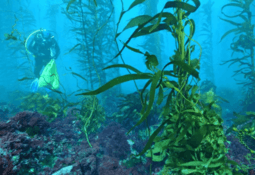 Endangered kelp thriving next to salmon pens