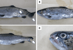Primer aislamiento en Chile de Tenacibaculum maritimum en trucha arcoíris