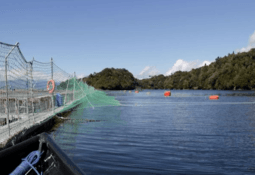 Autoridad declara zona infectada en Aysén tras caso de ISA en Yadran