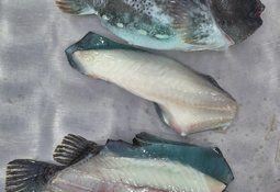 Kan rensefisk bli matfisk?