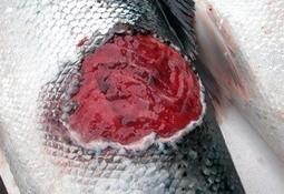 La habituación previa del salmón al agua de mar produce menos Tenacibaculosis