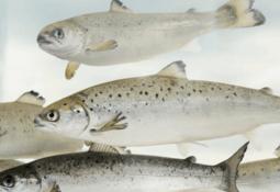 AquaGen refuta estudio sobre cultivo de salmón resistente al clima