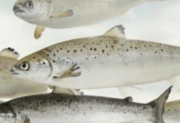 AquaGen questions need for warm seas salmon