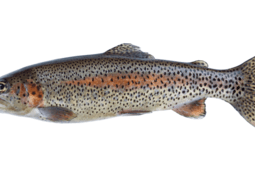 Cooke's trout should be in Pacific water by late spring
