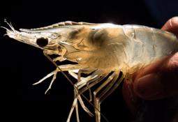 Benchmark issues shares to settle shrimp debt