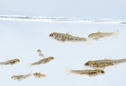 Troutlodge expands genetic selection for resistance