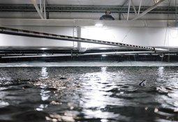 Salmonicultora será la primera en el mundo en tener ciclo completo en tierra