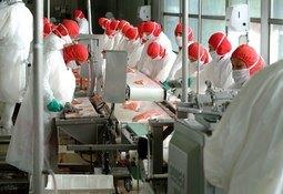 Realizan testeos PCR masivos a trabajadores de plantas salmonicultoras en Quellón