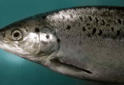 Investigación analiza impacto de contaminación acústica en salmón Atlántico