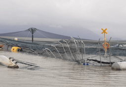 More than 400,000 salmonids escaped in Chile last year