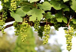 Evalúan efecto de extracto de semilla de uva en parámetros inmunes de truchas