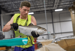 GM salmon may be in US shops by April