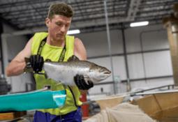 Salmón transgénico de Aquabounty estaría disponible durante abril en EE.UU.