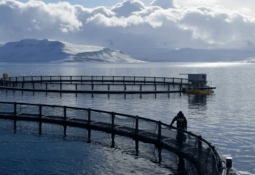 Farmed salmon now second most valuable fish in Iceland