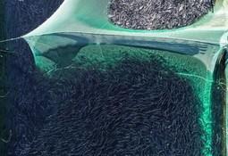 Desarrollan tecnología de reconocimiento facial para identificar salmones