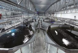 Nuevos conocimientos sobre maduración sexual del salmón en acuicultura terrestre