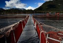 Líderes de la industria salmonicultora harán mentoría a emprendedores locales
