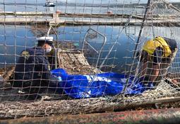 Encuentran cadáver en red de jaula salmonicultora en desuso