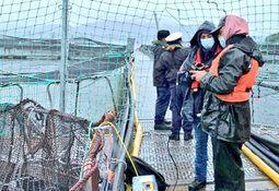 Reportan 5.600 toneladas de mortalidad de salmón por floraciones algales nocivas