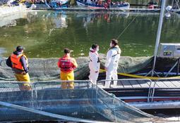 Situación FAN se estabiliza y centros de salmón registran baja mortalidad