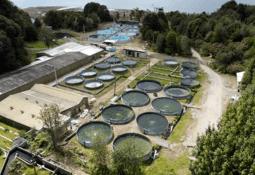 AquaChile generará el 100% de sus reproductores de salmón coho en tierra