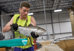 GE salmon will be on the market this month, says AquaBounty