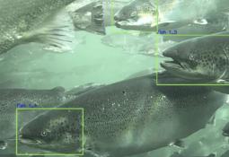 Detallan avances de tecnología para reconocimiento facial de salmones