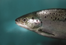 AquaBounty gets go-ahead to sell GE salmon in Brazil