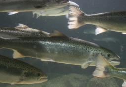 Identifiserer risikofaktorer ved oppdrett av laks i merdanlegg i sjøen