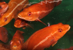 Collaboration is key to farmed wrasse progress