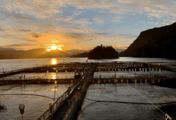 Smolt ban is about votes, not science, claims Cermaq