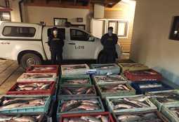 Incautan 2.660 kilos de salmón Atlántico en Chiloé