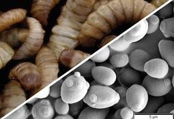 Proteína de insectos y levaduras podrían mejorar la riqueza bacteriana intestinal