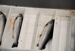 460 toneladas de salmón mueren tras vertimiento de cloro en planta de proceso