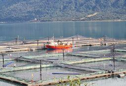 Estudio concluye que productores de salmón en Chile no cooperan entre sí