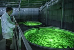 Los planes para el inédito cultivo chileno de salmón Chinook en RAS